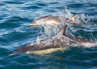 Short-beaked Common Dolphin - Napier